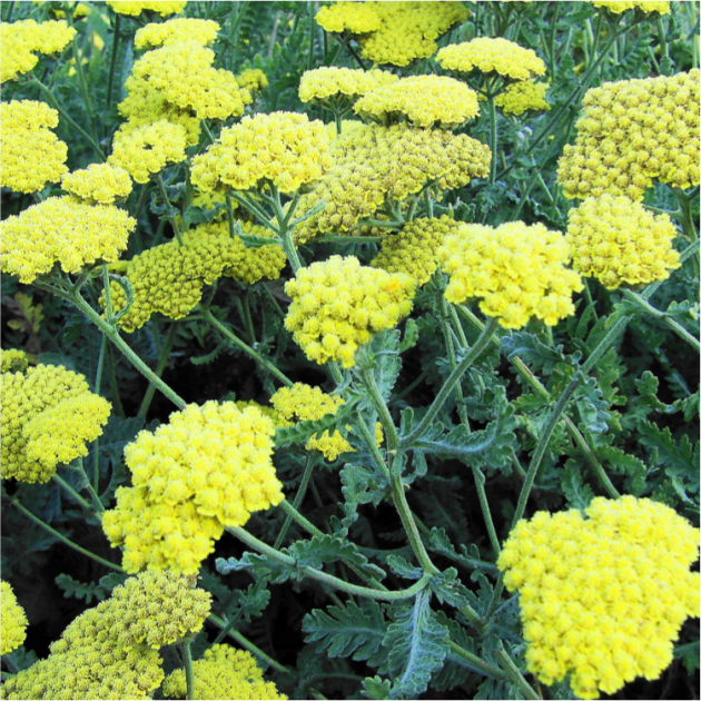 Moonshine Yarrow