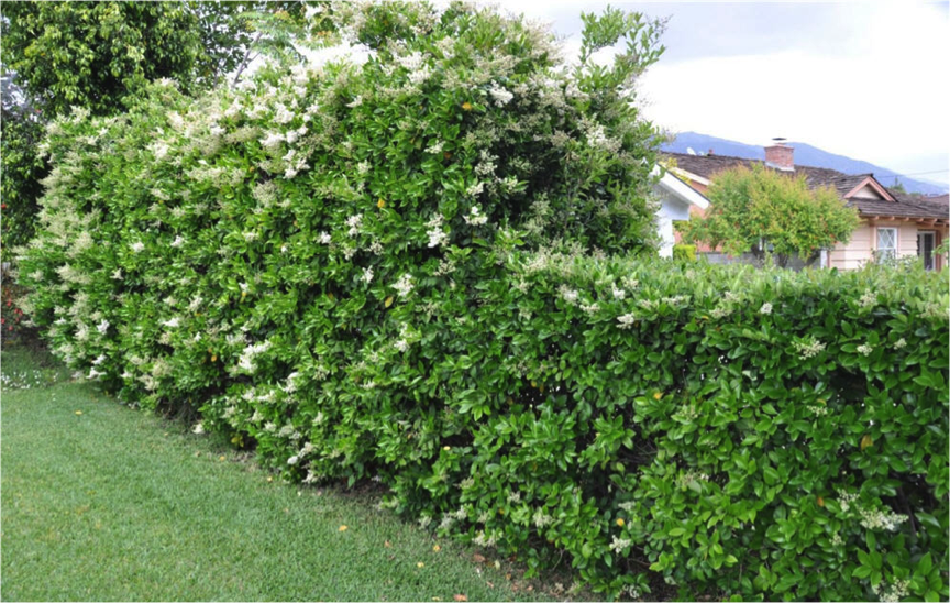 10 Plants That Make Great Hedges Homespree